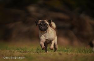 running fawn female pug across field.