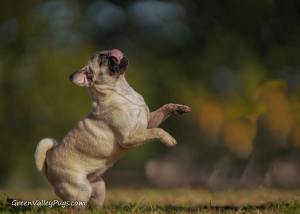 Young fawn female pug jumping
