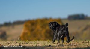 Green Valley Pugs shiny black pug.