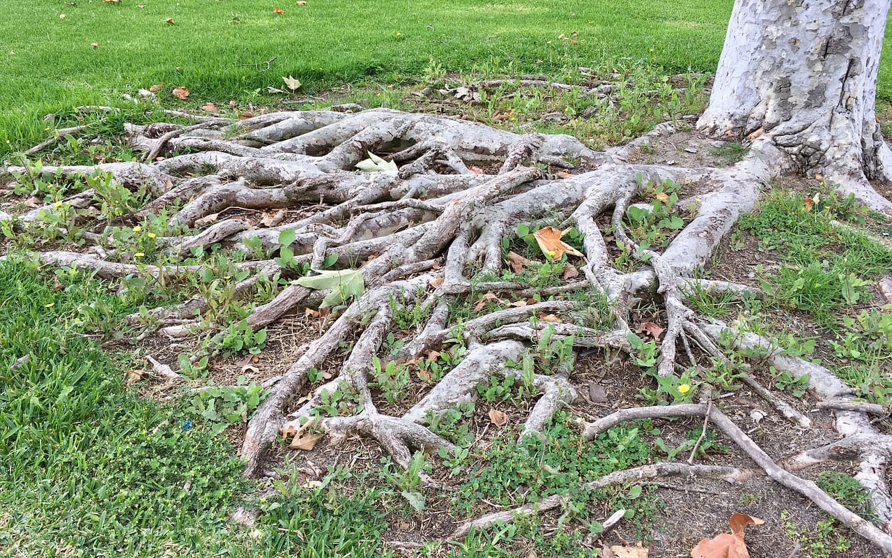 tree roots spreading above ground and causing problems