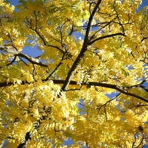 fall leaf color black walnut