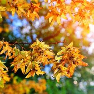 fall leaf color hornbeam