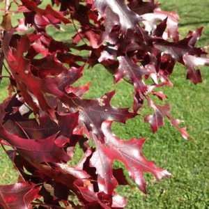 fall leaf color scarlet oak