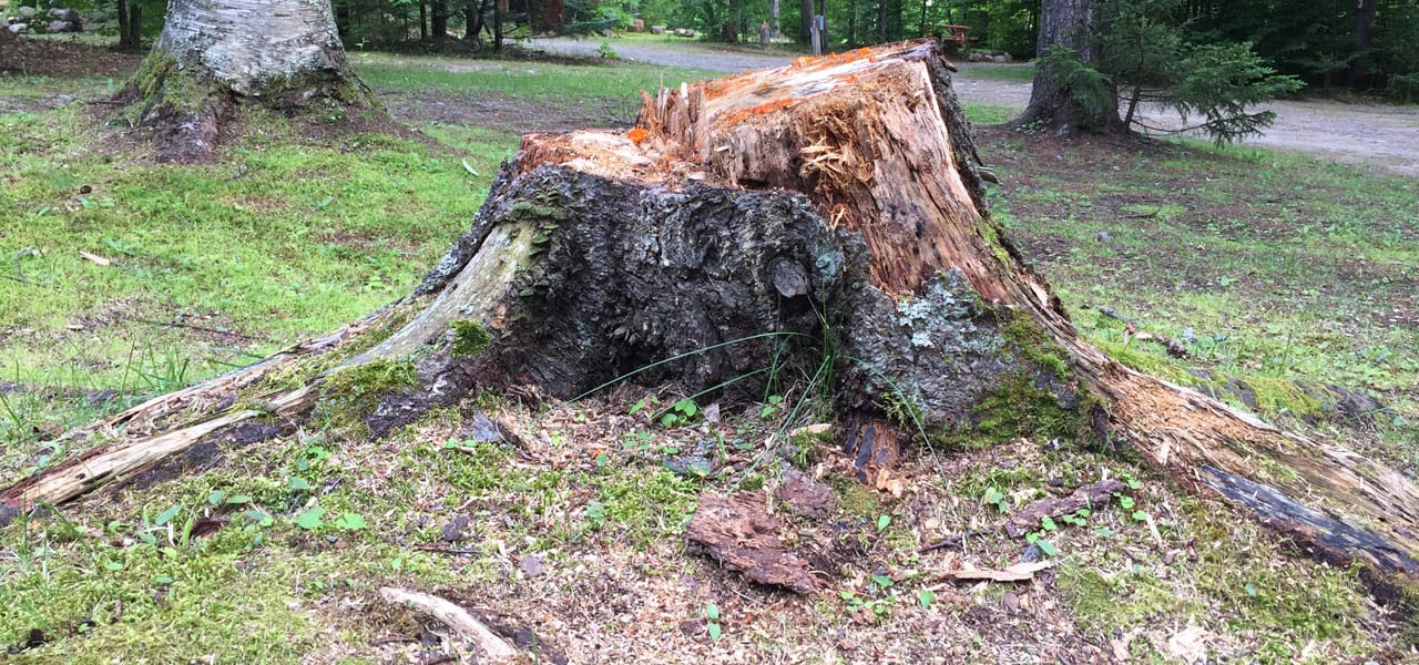 decomposing tree stump