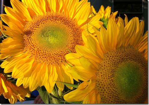 weekend sunflowers