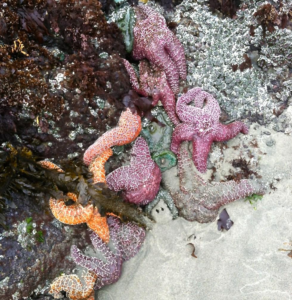 starfish tofino canada vancouver island