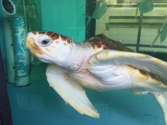 Sea turtle tank John D. MacArthu State Park in Floridar