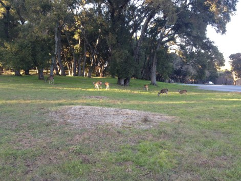 I walked closer than this, taking video, and they still didn't move. Filoli doesn't need lawn statuary, when they have so many tame deer who will play the part.