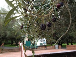 Trying to use the selective focus to capture the raindrops hanging suspended from almost every olive in the grove.