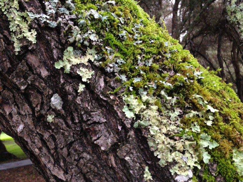 One of my favorite winter garden colors, moss and lichen on bark.