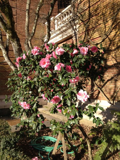 pink camellias in bloom