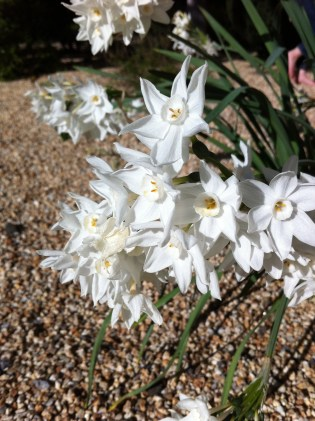 The gravel is the perfect foil for a succession of spring bulbs and poppies that have naturalized.