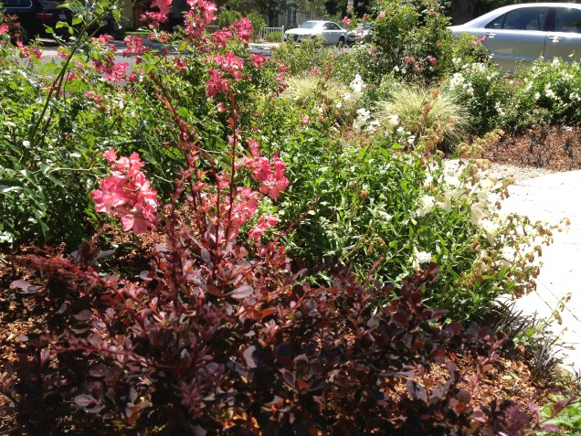 Coral Carpet roses with Berberis 'Rose Glow' added in 2013.