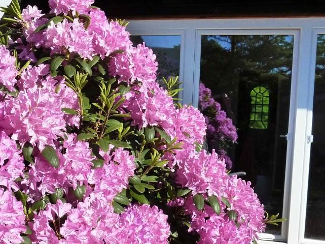 Rhododendenblüte