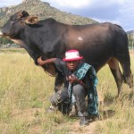 Masopha's brother Ramphume with one of their father's cattle