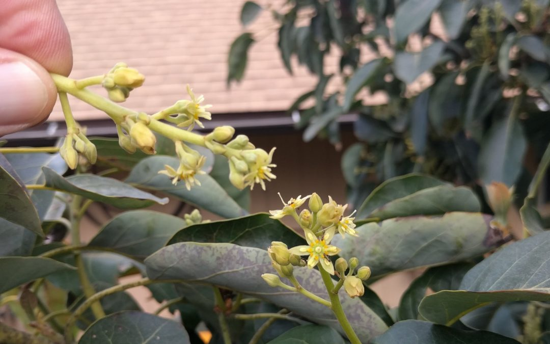 Hand Pollinating Avocados Greg Alders Yard Posts Food