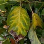 Reading Avocado Leaves Greg Alder S Yard Posts Food Gardening In Southern California