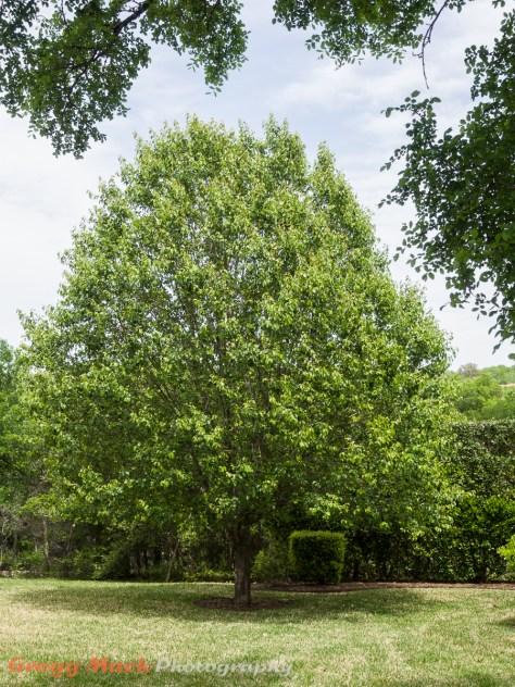 20130413_Bradford_Pear_Tree_008