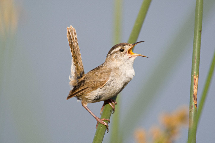 Image result for marsh wrens