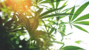 Utah Marijuana Defense Lawyer