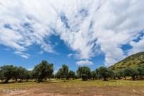 Un champ d'olivier dans le parc de la Maremma