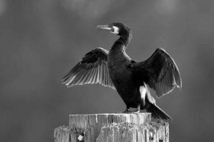 Great Cormorant (Phalacrocorax carbo) drying wings