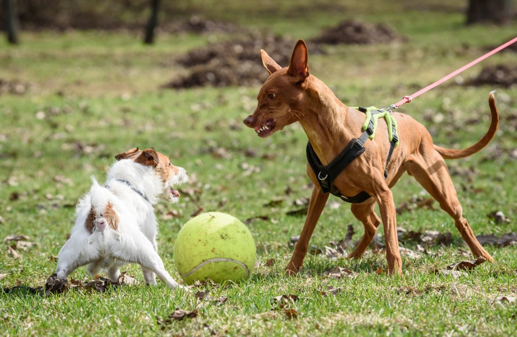dog on a leash with barred teeth ready to fight another dog over a ball