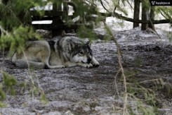 Wolf Laying Down and Watching