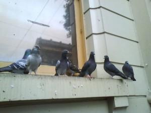 Pigeons, Pigeon control
