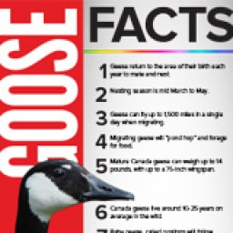 Geese Facts