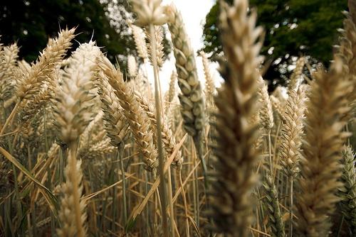 Gluten – no grain, no pain!