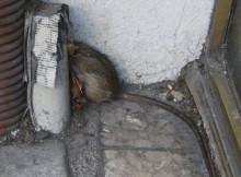 les rats sont de retour à Grenoble