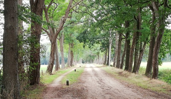 Robinia's langs het pad in het Wooldse Veen