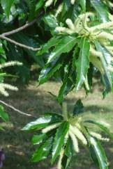 Castanea sativa(sweet chetnut) blossom