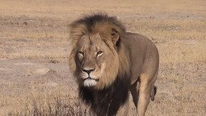 """Cecil the Lion"" by Source (WP:NFCC#4). Licensed under Fair use via Wikipedia - https://en.wikipedia.org/wiki/File:Cecil_the_Lion.jpg#/media/File:Cecil_the_Lion.jpg"