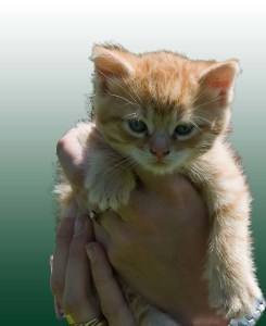 kitten held in human hands