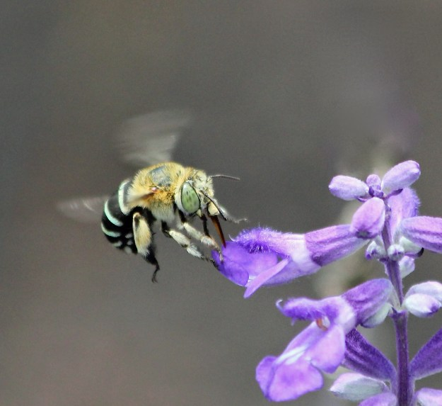 An Australian native blue-banded bee on a salvia. These bees are tiny, solitary little creatures, and very fast. I went through a lot of digital 'film' to get this