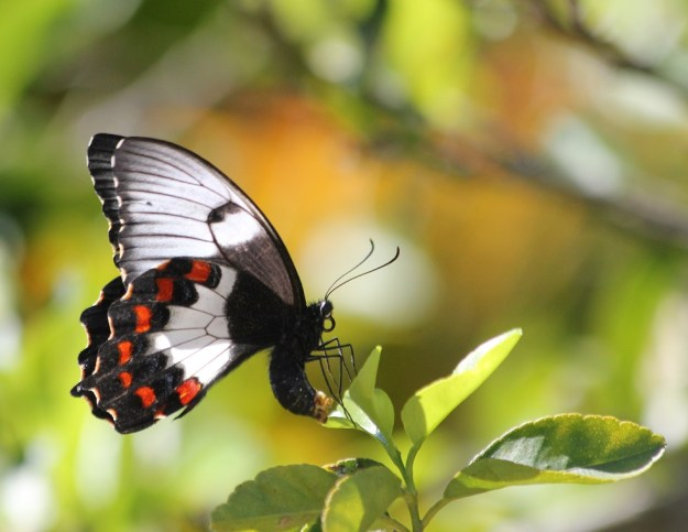 Butterfly laying eggs