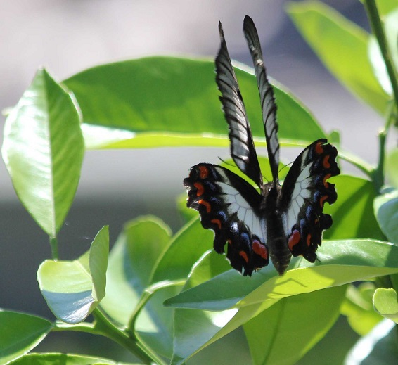 This butterfly was laying eggs - but this shot shows all four wings