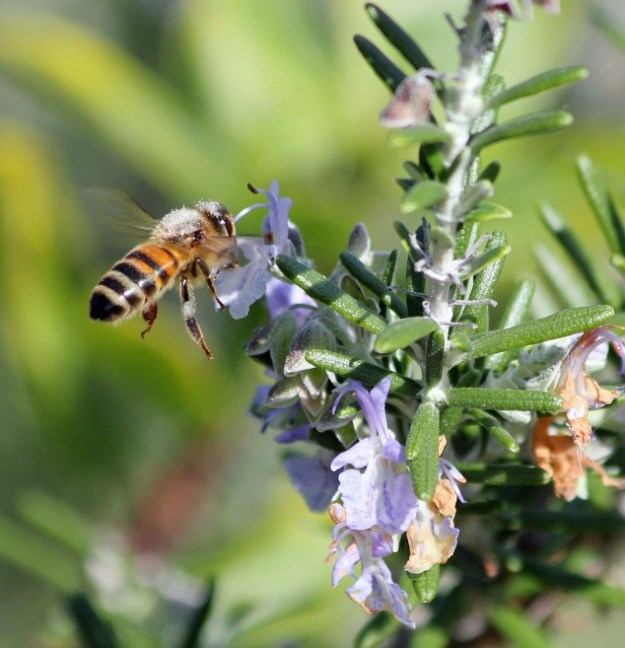 A European honey bee on rosemary