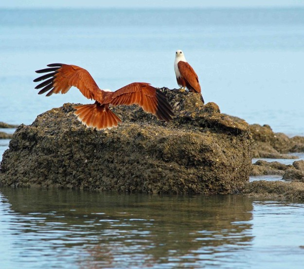 A Brahmani kite joins its mate on a rock