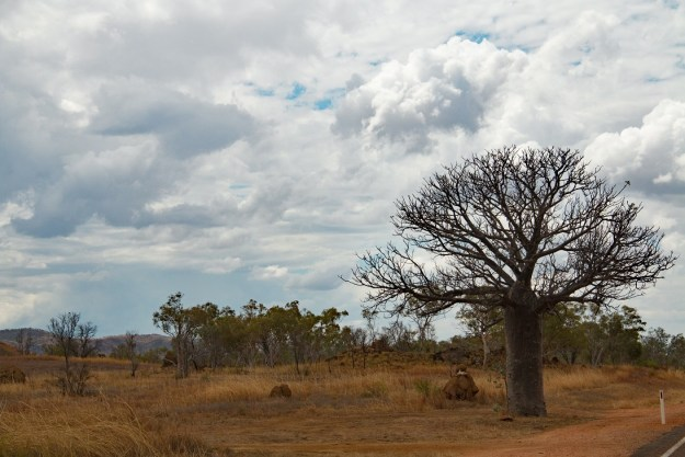 The mighty boab tree, seen all over the North
