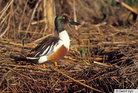 Northern Shoveler male (https://www.allaboutbirds.org/guide/Northern_Shoveler/id)