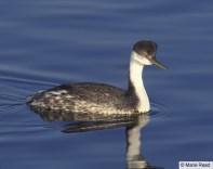 Western Grebe (https://www.allaboutbirds.org/guide/Western_Grebe/id)