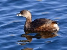 Pied-billed Grebe (https://www.allaboutbirds.org/guide/Pied-billed_Grebe/id)
