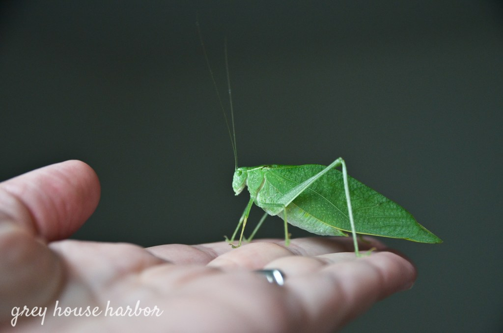 Pet Katydid greyhouseharbor.com
