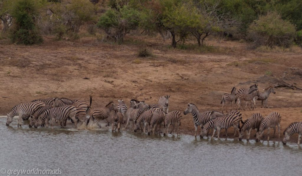 herd of zebras at the waterhole