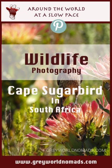 cape-sugarbird-southafrica
