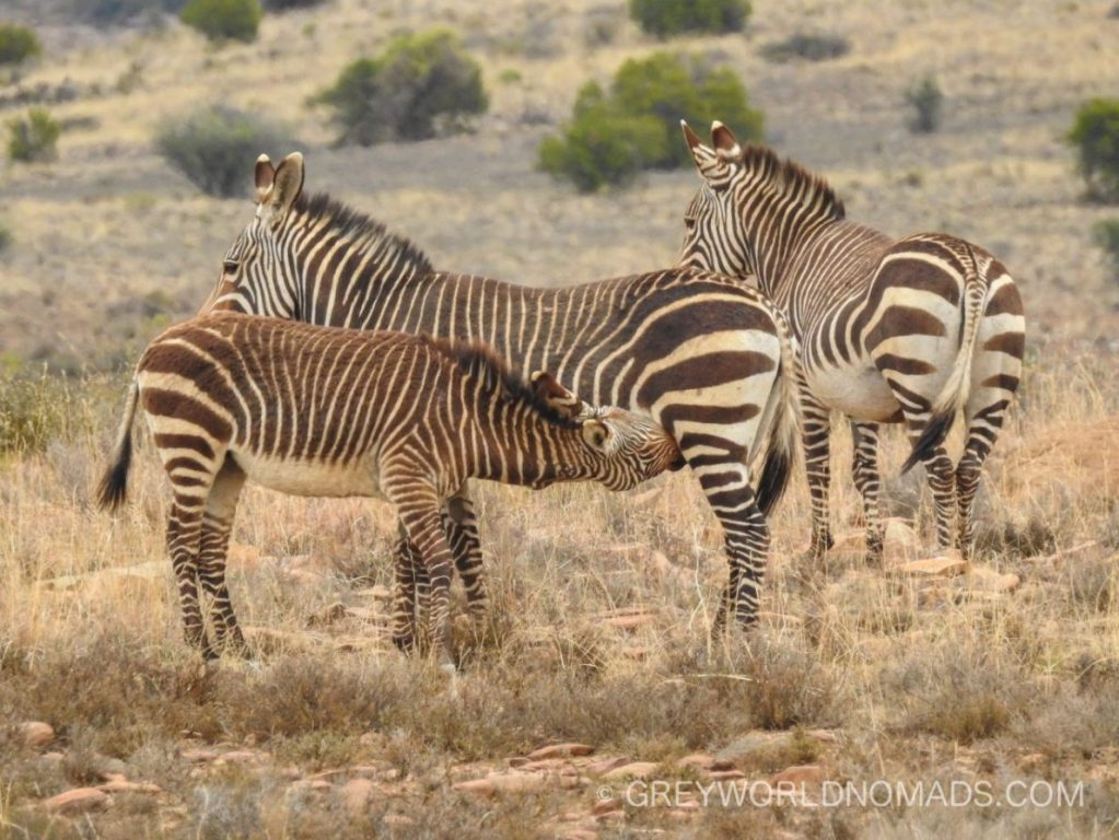The Mountain Zebra National Park was founded to safe the remaining herd of a few Cape Mountain Zebras in the Karoo near Cradock, South Africa. Nowadays also black rhino, buffalo, cheetah, brown hyena and lions have been re-introduced.