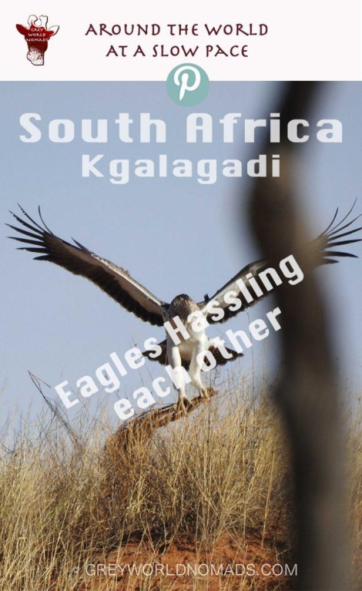 eagle-hassling-kgalagadi-2